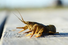 Crayfish on the pier Stock Images