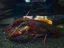 Crayfish Procambarus Clarkii Ghost. stock images