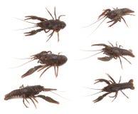 Crayfish Stock Image