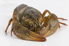Crayfish. Stock Images
