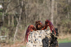 Crayfish on the rock Royalty Free Stock Photo