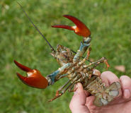 Crayfish. A signal crayfish caught from a river Royalty Free Stock Image