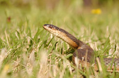 Crayfish Snake. Regina grahamii, commonly known as Graham's crayfish snake, is a species of nonvenomous colubrid snake, which is endemic to North America Royalty Free Stock Photography