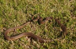 Crayfish Snake - Regina grahamii - Royalty Free Stock Photo