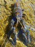 Crayfish in a stream Royalty Free Stock Images