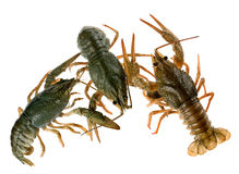 crayfish surowi obraz stock
