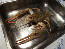 Crayfish in a tray Royalty Free Stock Photo