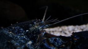 Crayfish under water. Tourist diving in the sea and ocean. Beautiful marine fauna.  stock footage