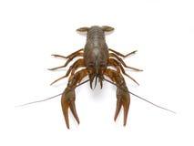 Crayfish on white Royalty Free Stock Image