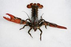 Crayfish on white
