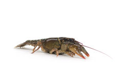 Crayfish on white background Royalty Free Stock Photo
