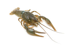 Crayfish on a white background Royalty Free Stock Photos