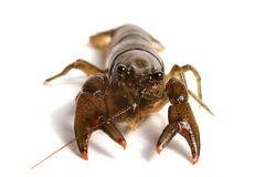 Crayfish Royalty Free Stock Photos
