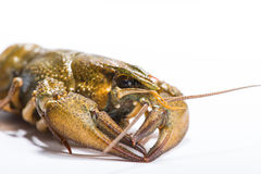 Crayfish on a white background Royalty Free Stock Image