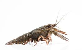 Crayfish Royalty Free Stock Image