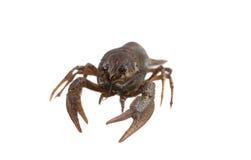 Crayfish on a white background. Crayfish isolated on white Stock Photos