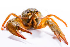 Crayfish on a white background Stock Photography