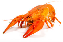 Crayfish on a white Stock Images