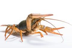 Crayfish on a white background Stock Photos