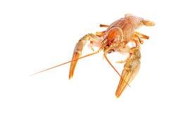 Crayfish on a white background. Stock Photos