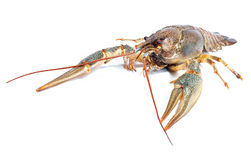 Crayfish on a white background. Royalty Free Stock Images