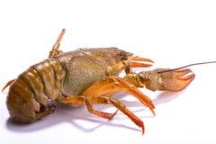 Crayfish on a white background Stock Photo