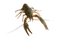 Crayfish on a white background Stock Images