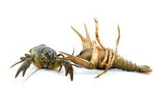crayfishes изолировали 2 в реальном маштабе времени Стоковое фото RF