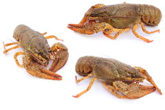 crayfishes Obraz Royalty Free