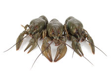 crayfishes 3 Стоковые Фото