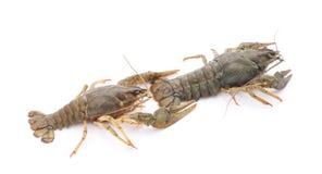2 crayfishes Стоковая Фотография RF