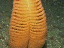 Crayon lecteur de mer orange (gurneyi de Ptilosarcus) Images stock