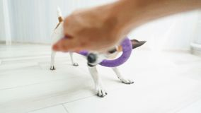 Crazy funny small dog playing with puller toy at home. Video footage stock video