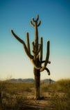 Crazy Armed Saguaro Cactus. A very unique specimen of Saguaro cacti in the Sonoran desert of Arizona Royalty Free Stock Image