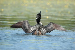 Crazy as a Loon. Common loon doing a song and dance on a Minnesota lake Stock Photography