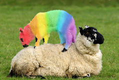 Crazy Baby. Female sheep lying in a field in spring with a lamb climbing on its back, with the lambs coat saturated with colors of the rainbow Stock Photo