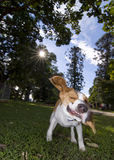 The crazy beagle. A tan and white beagle flailing his ears wildly as he shakes his head Stock Photos