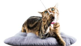 Crazy Bengal cat chews a toy mouse lying on a soft pillow. Royalty Free Stock Images