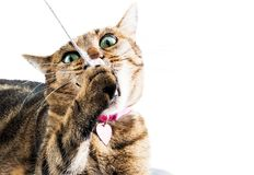 Crazy Bengal cat chews a toy mouse lying on a soft pillow. Royalty Free Stock Photography