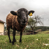 Crazy brown sheep Stock Photos