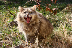 Crazy cat. Cat is showing as her teeth Royalty Free Stock Photo