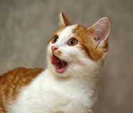 Crazy cat. With tongue hanging out royalty free stock photography