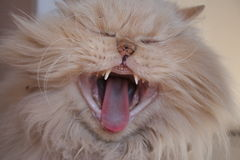 Crazy cat yawn. Persian cat yawning with mouth wide open Royalty Free Stock Photo