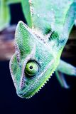 Crazy chameleon royalty free stock image