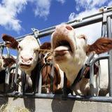 Crazy cow Stock Image