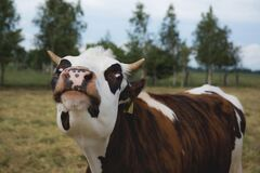 Crazy cow Stock Photo