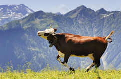 Crazy cow is jumping in the mountain Royalty Free Stock Photos