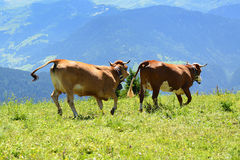 Crazy cow is jumping in the mountain Stock Photography