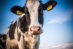 Crazy Cow. Looking in camera Stock Image