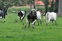 Crazy cows stock photos